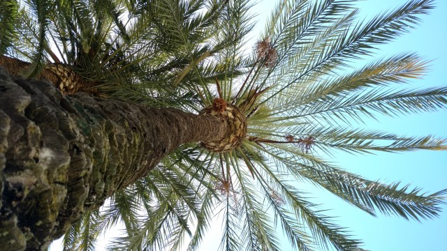 Cartagena Palm Tree