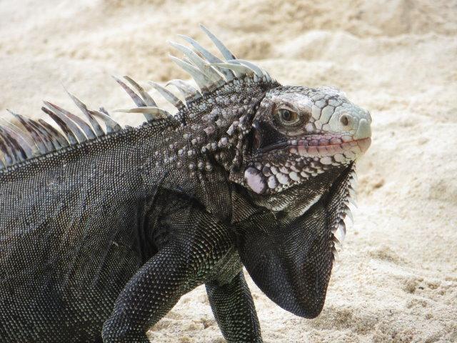 Tame Iguana on Sapphire Beach